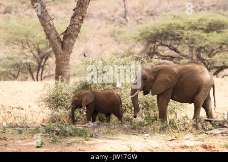 Gentle moment between elephant mother and baby (African Elephant, Africana) - Stock Image