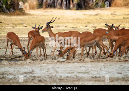Impala Aepyceros melampus Selous National Park Tanzania - Stock Image