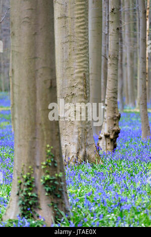 Purple carpet of blooming bluebells framed by trunks of the giant Sequoia trees in the Hallerbos forest, Halle, Belgium, Europe - Stock Image
