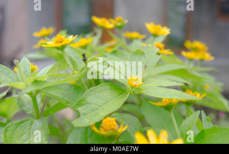 Yellow Flowers and green leaves in the morning at the summer. Yellow flower aesthetic. Blur background. - Stock Image