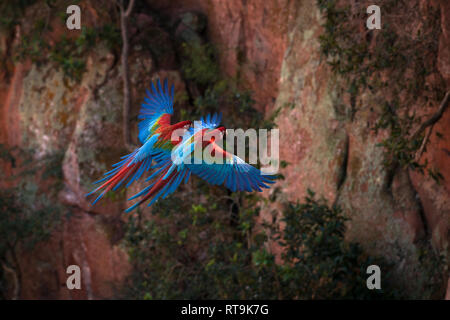 A pair of Red-and-green Macaws fly inside a sinkhole in Mato Grosso do Sul, Brazil - Stock Image