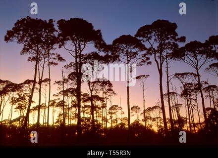Florida Gulf Coast St. Joseph Peninsula State Park Wilderness Area coastal pines dusk - Stock Image