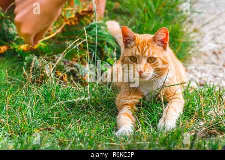 Red-headed cat playing with grass outdoors. Human hand attracts attention of playing cat - Stock Image