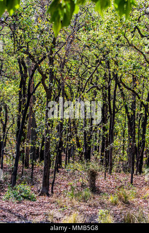 Forest of Sal Trees, Shorea robusta, also known as sakhua or shala tree, Bandhavgarh National Park, Umaria district, Madhya Pradesh, India - Stock Image