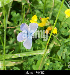 Surrey, UK. 10th June 2018. UK Weather: Butterflies on the North Downs, Surrey. A Common Blue Butterfly Polyommatus icarus rests on vetch flowers in a meadow on the North Downs at Colley Hill, Reigate, Surrey. 1540hrs Sunday 10th June 2018. Photo ©Lindsay Constable / Alamy Live News - Stock Image