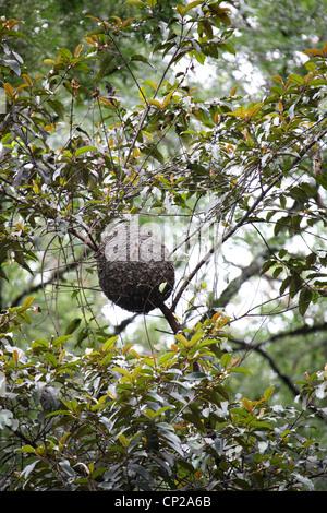 Tree Ants Nest, Madagascar, Africa - Stock Image