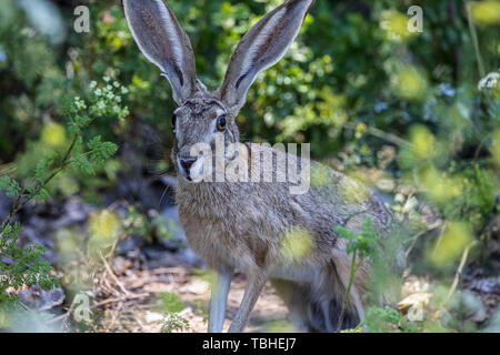 A handsome Black Tailed Jackrabbit (Lepus californicus) poses at Merced National Wildlife Refuge in the Central Valley of California USA - Stock Image