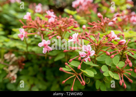 A pink flowering climber or hedge plant, the Bauhinia corymbosa is a hardy but pretty flowering plant from Australia - Stock Image