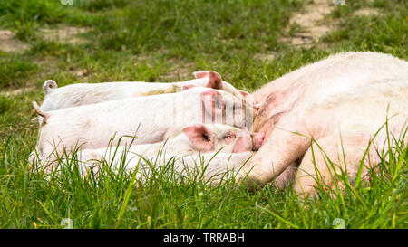 Happy pigs on a blossoming meadow in spring in Denmark - Stock Image
