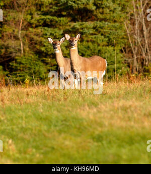 Two white-tailed deer strike similar poses near Sussex, Kings County, New Brunswick, Canada. - Stock Image