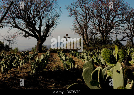 Nopal Fields near Tlayacapan, Mexico, February 5, 2008. Photo/Chico Sanchez - Stock Image