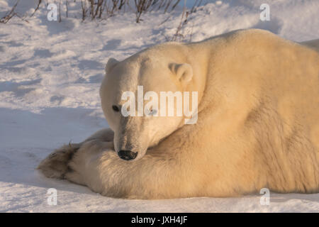 Close-up of adult polar bear lying on the snow in golden light. Front view of face. - Stock Image