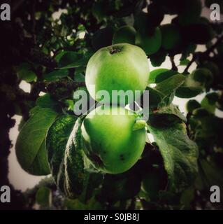Apple Tree - Stock Image