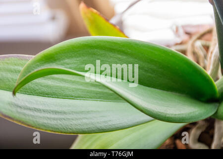 Phalaenopsis orchid beautiful new and fresh green leaf at home. Botanical and house flowers concept. Close up, blurred motion and selective focus - Stock Image