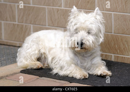 West Highland Terrier lying on a floor mat - Stock Image