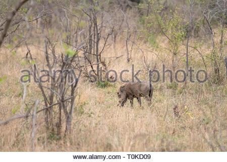 Warthog (Phacochoerus africanus), taken in South Africa - Stock Image