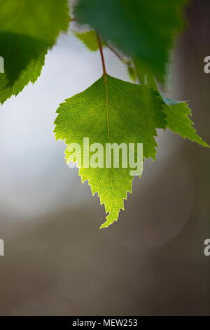 Close up of birch leaves on a sunny spring day - Stock Image