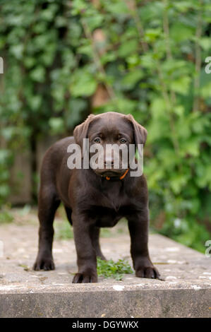 Brown Labrador Retriever, puppy standing on a paved terrace - Stock Image