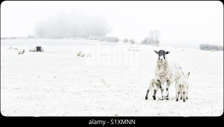 Ewe with lambs in snowy field in  Nottinghamshire, England, UK - Stock Image