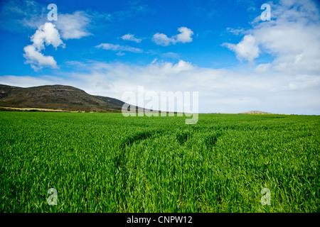 Crops. Eyre Peninsula. South Australia. - Stock Image