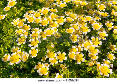 Background of Limnanthes douglasii, also known as the Poached Egg Plant - Stock Image