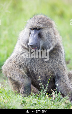 The olive baboon (Papio anubis), also called the Anubis baboon - Stock Image