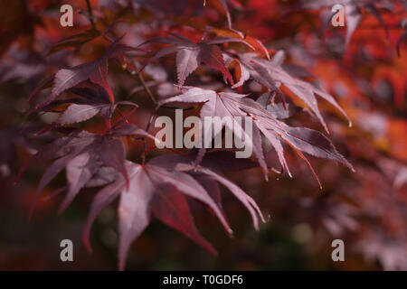 Acer palmatum 'Bloodgood' is one of the best purple-leafed Japanese Maple varieties. This one was photographed at Wakehurst wild Botanic Gardens - Stock Image