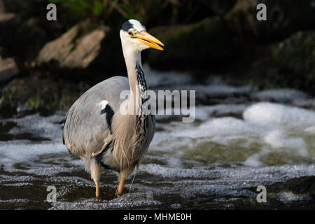 Grey Heron (Ardea cinerea) fishing in deep, white-water rapids of a river - Stock Image