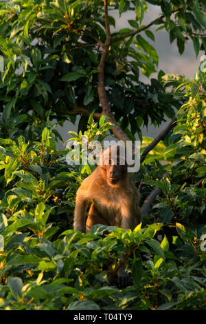 Young macaque monkey looks at the camera from a tree  top at golden hour. - Stock Image