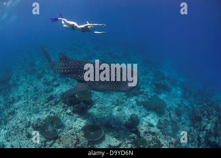 Underwater view of a woman swimming above a Whale shark (Rhincodon typus), South Ari Atoll, Maldives - Stock Image