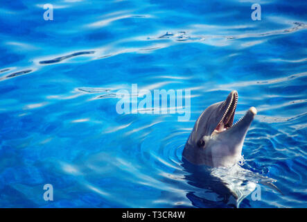 Dolphin in the pool. L'Oceanografic, City of Arts and Sciences, Valencia, Spain. - Stock Image