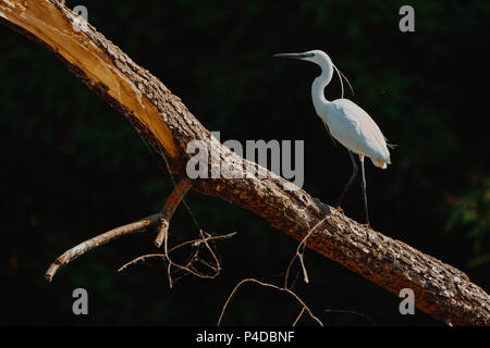 White Heron (Ardea Alba) sitting on a bench in the Danube Delta, Europe, Romania - Stock Image