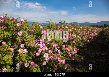 A lot of roses in a countryside farm before collecting. - Stock Image