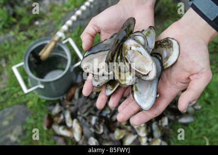 A man holds freshwater Mussels whilst looking for pearls on the River Tay in Perthshire, Scotland - Stock Image
