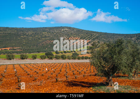 Olive grove and vineyard. Urda, Toledo province, Castilla La Mancha, Spain. - Stock Image