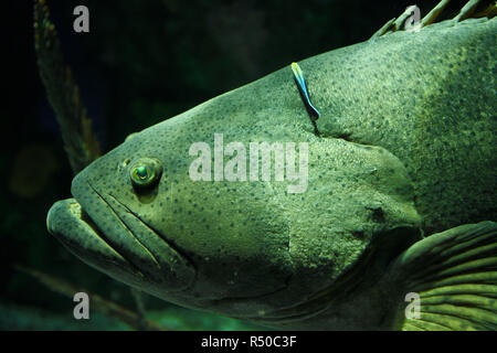 Giant Atlantic Goliath Grouper fish head being cleaned by a bluestreak cleaner wrasse at Ripley's Aquarium Toronto - Stock Image