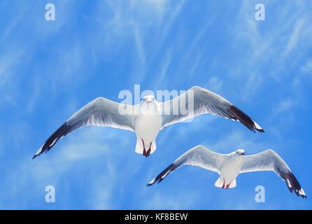 flock of Silver Gulls, (Chroicocephalus novaehollandiae), in flight, Byron Bay, New South wales, Australia - Stock Image