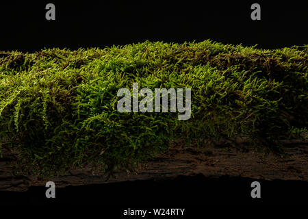 Moss on a rotten log in the forest - Stock Image
