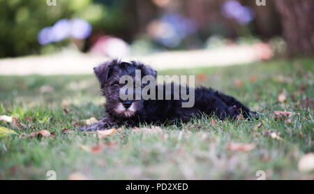 Adorable alert black and grey ten-week-old Miniature German Schnauzer pedigree puppy playing in a garden in the summer - Stock Image