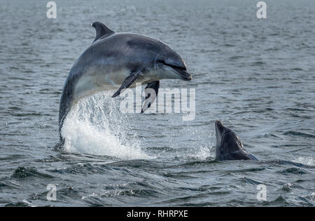 Wild Bottlenose Dolphins Jumping Out Of Ocean Water At The Moray Firth Near Inverness In Scotland - Stock Image