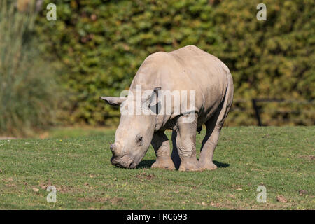 Detailed, close-up front view of a cute, baby white rhinoceros (Ceratotherium simum) isolated outdoors in the sunshine, grazing at UK wildlife park. - Stock Image