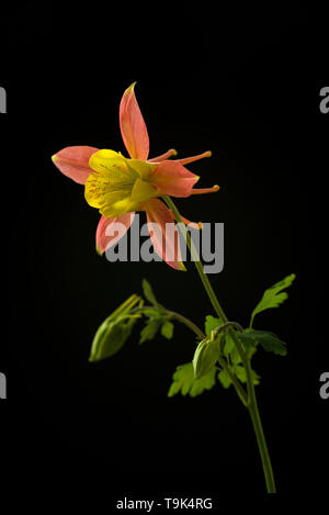 Close up of Columbine or Aquiliegia flower, in yellow and orange. - Stock Image