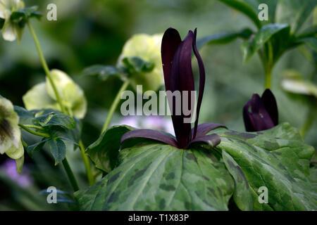 Trillium kurabayashii,purple,red,flower,flowers,spring,shade,shaded,shady,wood,woodland,flower,flowers,spring,color,RM Floral - Stock Image