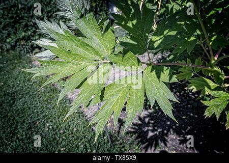 Italy Piedmont Turin Valentino botanical garden - Paeonaceae - Paeonia Lutea  Delav. ex Franch - Stock Image