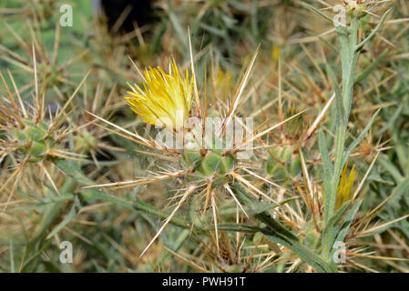 Centaurea maroccana is native to the south-east part of the Iberian Peninsula and North Africa where it occurs in arid conditions. - Stock Image