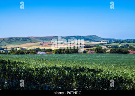 View of Firle Beacon in East Sussex, England across well-maintained bean crop fields - Stock Image
