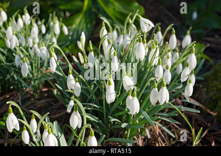 Snowdrops in the garden England UK United Kingdom GB Great Britain - Stock Image