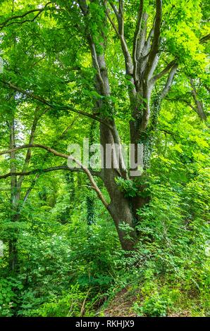 Chestnut tree overgrown with ivy. - Stock Image