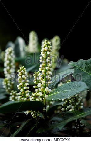 New growth in springtime on Kirschlorbeer, or cherry laurel, Prunus laurocerasus - Stock Image
