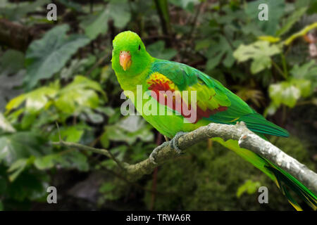 Jonquil parrot / olive-shouldered parrot (Aprosmictus jonquillaceus) perched in tree, native to Timor, Asia - Stock Image